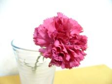 carnation-d.JPG
