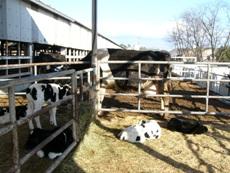 cattleshed.JPG