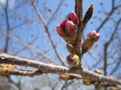 cherrybloomhigashiyamazoo2102.jpg