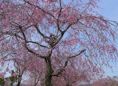 cherrytree2009.JPG