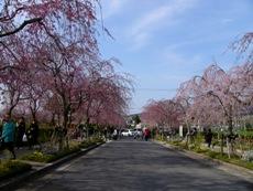 cherrytree2009c.JPG