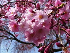 cherrytree2009d.JPG