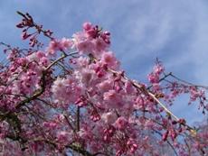 cherrytree2009f.JPG