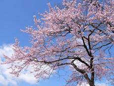 cherrytreehiyashiyama2010.JPG