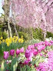 cherryttree-daffodile-tuilip.JPG