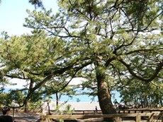 hagoromopinetree.jpg