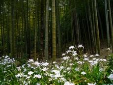 higashiyamabotanicalgardenbamboo.JPG