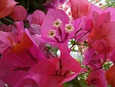 higashiyamabotanicalgardenbougainvailleazoom.JPG