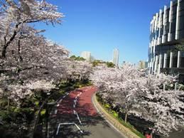 midtowncherrytrees.jpg