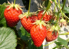 strawberrypickinginshizuoka.jpg