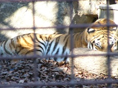 tigerinsleep.JPG