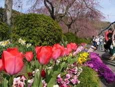 tulipandcherrytree.JPG