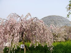 weepingcherrytrees20140416.jpg