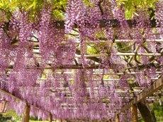 wisteria270408.JPG